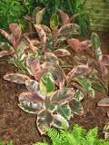 rosliny pokojowe, figowiec sprężysty