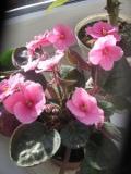 rośliny pokojowe fiołek afrykański