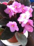 Sępolia fiołkowa, fiołek afrykański,  Saintpaulia ionantha,  rośliny pokojowe, rośliny doniczkowe