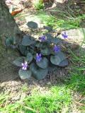 Ogrody, zdjęcia fiołek wonny kwiat, fiołki w ogrodzie