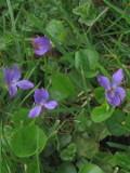 Ogrodnik-amator, opis rośliny, Fiołek wonny, Viola odorata, uprawa fiołków wonnych, fiołki wonne w ogrodzie, fiołki wiosenne kwiaty, fiołki pachnące