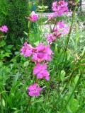 Ogrody, zdjęcia firletka smółka, kwiat, firletki w ogrodzie
