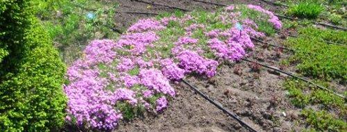 Ogrody, rośliny okrywowe, zadarniające