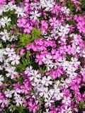 Ogrodnik-amator, opis rośliny, Floks szydlasty, Phlox subulata, Creeping Phlox, Moss Phlox, uprawa floksów szydlastych, opis rośliny, Kwiaty wieloletnie, byliny, kwiaty ogrodowe, kwiaty początku wiosny,  kwiaty wiosenne, kwiaty łatwe w uprawie,  rośliny kwitnące wiosną
