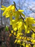 Ogrody, rośliny pachnące , krzewy wiosenne forsycja