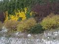 forsycja, skarpa, krzewy iglaki, wiosenny ogród, forsycje na skarpie, pod iglakami, ogród,  w ogrodzie, aranżacje ogrodowa, galeria ogrodowa