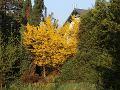 dodatki ogrodowe, wysokie krzewy, krzewy kwitnące, forsycja, aranżacje ogrodowa, galeria ogrodowa