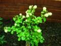 Ogrodnik-amator, opis rośliny, Fotergilla większa, Fothergilla major, uprawa fortegilli,  krzewy kwitnące wiosną, krzewy o kremowych kwiatach, krzewy na gleby żyzne, krzewy lisciaste, krzewy ozdobne, galeria krzewów, rośliny na wiosnę, drzewa do wiosennego ogrodu, krzewy o dekoracyjnych kwiatach, krzewy do ogrodu