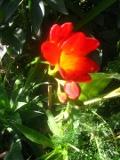 frezja ogrodowa, zdjęcia rośliny, galeria roślin, rośliny na literę f