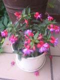 kwiaty ogrodowe, kwiaty łatwe w uprawie, fuksja, fuksje