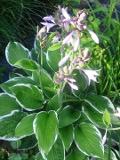 Ogrody, rośliny  , funkia ogrodowa, hosta