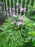 byliny, rabaty bylinowe, kwiaty wieloletnie, zakładanie rabaty bylinowej, byliny o ozdobnych liściach, hosta, funkia ogrodowa