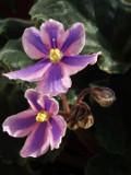 Ogrodnik-amator, opis rośliny, Sępolia fiołkowa, fiołek afrykański, Saintpaulia ionantha, African Violet, uprawa fiołka afrykańskiech, pielęgnacja sępolii, rośliny doniczkowe, rośliny pokojowe, rośliny kwitnące przez cły rok, rośliny o efektownych kwiatach, kwiaty na parapet, drobne kwiatki doniczkowe