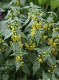 Ogrodnik-amator, opis rośliny, Gajowiec żółty, Galeobdolon luteum, Yellow archangel, artillery plant, uprawa gajowca żółtego, , kwiaty wieloletnie, byliny, kwiaty ciekawie kwitnące, kwiaty ogrodowe, rośliny o żółtych kwiatach,  kwiaty wiosny, kwiaty wiosenne, kwiaty łatwe w uprawie