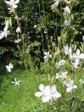 Ogrodnik-amator, opis rośliny, Gaura Lindheimera, Gaura lindheimeri, Lindheimers beeblossom, uprawa gaury, opis rośliny, Kwiaty wieloletnie, byliny, kwiaty ogrodowe, kwiaty drobne, roślina miododajna, kwiaty lata