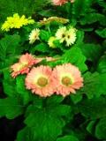 gerbera, rośliny pokojowe, rośliny doniczkowe