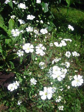 kwiaty, rosliny jednoroczne, rośliny na rabaty, na balkony, gipsówka wytworna