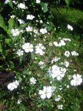 gipsówka wytworna, łyszczec nadobny, zdjęcia roślin