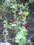 Głąbigroszek szkarłatny , zdjęcia roślin