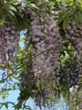 ogród pnącza ogrodowe , ozdone liście, dlicynia, slodlin, wisteria