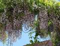ogród pnącza ogrodowe , kwiaty, glicznia, wisteria