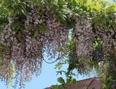 glicynia, pnącze ogrodowe, efektowne kwiatostany