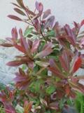 głogownik, zdjęcia, rośliny na literę g