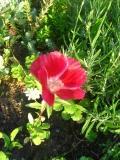 Ogrodnik-amator, opis rośliny, Godecja wielkokwiatowa, azalia letnia, marszawa, Godetia grandiflora, Godetia, uprawa godecji, pielęgnacja godecjii, kwiat, kwiaty jednoroczne, rosliny o barwnych kwiatach, kwiaty na gleby żyzne, rośliny na gleby wilgotne, rośliny o ozdobnych kwiatach, kwiaty podobne do azalii, kwiaty ogrodowe, kwiaty na rabaty ogrodowe, kwiaty lata