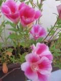 godecja, rośliny na literę g