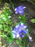goryczka siedmiodzielna, kwiaty na literę g, galeria roślin