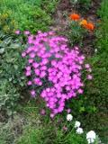 goździk alpejski, katalog roślin na g, zdjęcia rośliny