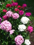 ogród ozdobny , rośliny kwiaty dwuletnie, gożdziki brodate, gożdzik brodaty,  ogród wiejski, rośliny  na początek lata