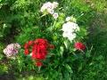 Ogrody, rośliny  dzwuletnie , goździk brodaty