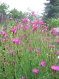 Ogrodnik-amator, opis rośliny, Goździk kropkowany, Dianthus deltoides, Maiden pink, uprawa goździków kropkowanych, kwiaty wieloletnie, byliny, kwiaty na skalniak, rośliny o ozdobnych liściach, kwiaty ogrodowe, kwiaty na murki, kwiaty początku lata, kwiaty letnie, kwiaty łatwe w uprawie, rośliny kwitnące w czerwcu, rośliny do letniego ogrodu, kwiaty lata