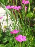 goździk kropkowany, katalog roślin na g, zdjęcia rośliny
