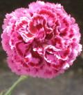 Ogrodnik-amator, opis rośliny, Goździk pierzasty, Dianthus plumarius,  uprawa goździków pierzastych, kwiaty wieloletnie, byliny, kwiaty na skalniak, rośliny o ozdobnych liściach, kwiaty ogrodowe, kwiaty pachnące, kwiaty początku lata