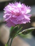 Ogrodnik-amator, opis rośliny, Goździk siny, Dianthus gratianopolitanus, Cheddar pink, uprawa goździków sinych, kwiaty wieloletnie, byliny, kwiaty na skalniak, rośliny o ozdobnych liściach, kwiaty ogrodowe, kwiaty pachnące, kwiaty początku lata, kwiaty wiosenno-letnie, kwiaty łatwe w uprawie