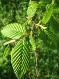 Ogrodnik-amator, opis rośliny, Grab pospolity, Carpinus betulus, Hornbeam, uprawa grabu zwyczajnego, opis rośliny, drzewo o kolorowych liściach jesienią, drzewa do cienia, drzewa liściaste, drzewa ozdobne, galeria drzew, rośliny na jesień, drzewa do  jesiennego ogrodu, drzewa o dekoracyjnych liściach