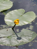grążel żółty, fotografie roślin