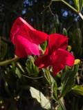 Ogrodnik-amator, opis rośliny, Groszek pachnący, Lathyrus odoratus, Ogrodnik-amator. Uprawa groszku pachnącego, opis rośliny