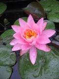 Ogrody, rośliny  wodne, grzybień, lilia wodna, nenufar