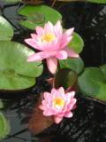 rośliny nad wodę, grzybeń, nenufar, lilia wodna, lilie wodne