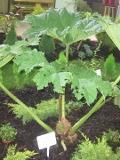 gunera olbrzymia, galeria roslin, zdjęcia rośliny