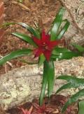 zdjęcia guzmanii, guzmania roślina doniczkowa