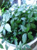 gynostemma, galeria roslin, zdjęcia rośliny