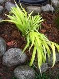 Ogrody, zdjęcia hakonechloa smukła trawa