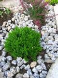 krzewy liściaste hebe imbricata
