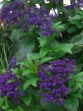 kwiaty balkonowe, kwiaty na zacieniont balkon, heliotrop