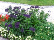 heliotrop, rabata z heliotropem, pachnące kwiaty, galertia ogrodowa