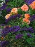 Ogrodnik-amator, opis rośliny, Heliotrop, Heliotrop arborescens, Heliotrope, uprawa heliotropu, kwiaty wieloletnie, byliny, kwiaty na miejsca wilgotne, rośliny pachnące, kwiaty fioletowoniebieskie, heliotropy